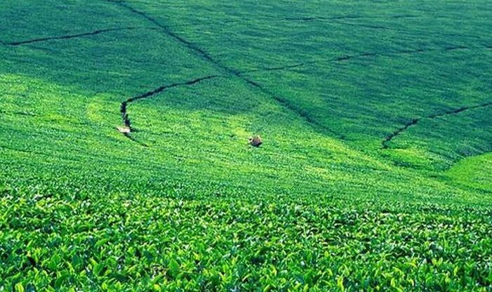 Kiambethu Tea Farm Day Trip