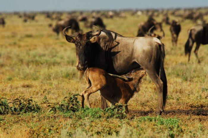 6 Days Masai Mara, Lake Nakuru, Crescent Island And The Tree Tops In Aberdares